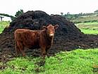 Продам перегной коровий