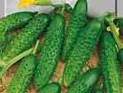 Семена овощей , цветов , трав , пряностей SeedEra. Прямая продажа.
