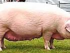 закупаю свиней живым весом