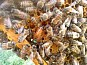 Пчеломатки F1 Бакфаст