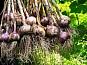 Семена чеснока - Воздушка , Однозубка чеснока , Чеснок продам