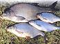 Принимаю заказы на охлажденную и свежемороженную рыбу: лещ, тарань и густеру.