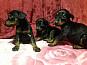щенки Добермана. добрые ,игривые