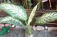 Диффенбахия вечнозеленая
