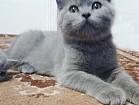 Настоящие британские котята по летней цене