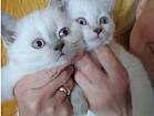 отдам котят британцев за символическую плату
