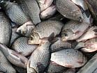 Рыбное предприятие по вылову и заготовке речной рыбы ищет КРУПНЫХ переработчиков рыбной продукции дл