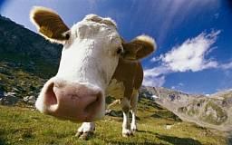 В Днепропетровской области расплодились коровы и свиньи