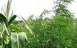 Фермер-умелец замаскировал 18 га конопли под поле с кукурузой