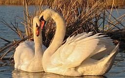 Криворожская межрайонная прокуратура наказала охотников на лебедей