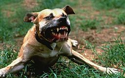 Собака, який напав на дитину, досі бігає вулицями Кривого Рогу