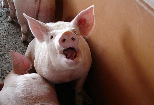Под Кривым Рогом зафиксирована вспышка африканской чумы свиней
