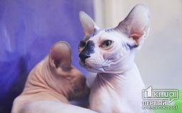 Мейн-куны, британцы и сфинксы. В Кривом Роге на выставку привезли более 100 кошек