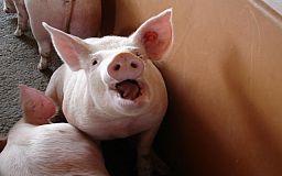 Африканская чума свиней обнаружена в Новополье под Кривым Рогом