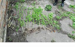 Полицейские приехали на ссору соседей, а собрали «нарко-урожай»