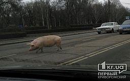 «Свидетели событий»: По центру города разгуливала сбежавшая свинья