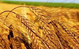 В Украине ожидается антирекорд урожая пшеницы