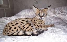 На выставке в Кривом Роге будет единственная в Украине кошка породы «Сервал»