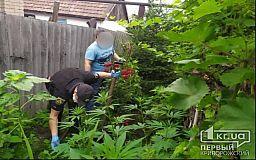 Криворожский пенсионер выращивал коноплю на огороде