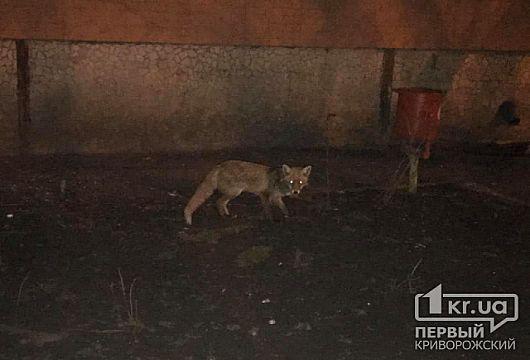 В одном из дворов Кривого Рога горожанин заметил дикую лисицу