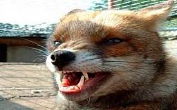 Главные распространители бешенства на Днепропетровщине – лисицы и коты