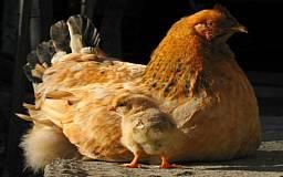 Для того, чтобы зарезать домашнюю курицу, требуется разрешение участкового ветеринара