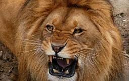 На криворожского дрессировщика напал лев в цирке
