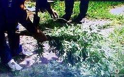 Криворожанин выращивал на огороде почти полтысячи кустов конопли
