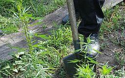 Криворожские правоохранители задержали мужчину, который выращивал наркотики на огороде