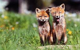 Над лесами Днепропетровской области из самолетов разбросают вакцину для хищников