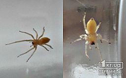 В Кривом Роге обнаружены ядовитые пауки, укус которых вызывает лихорадку