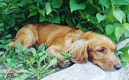 Человек собаке друг: о кокер-спаниеле, приблудившемся в УПП, беспокоятся копы Кривого Рога