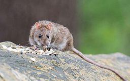 У Кривому Розі почали травити «виконкомівських» щурів