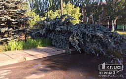 На месте елей, которые рухнули во время урагана, криворожские коммунальщики планируют посадить новые