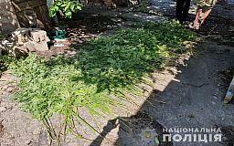 На приусадебном участке криворожанин выращивал плантацию конопли