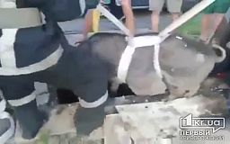 140-килограммовый кабан провалился в яму в Кривом Роге