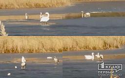 Стая лебедей осталась зимовать на пруду в криворожском поселке