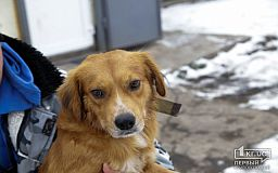 Верный пес Оскар, которого пытались зарезать, ищет семью в Кривом Роге