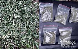 Безработный криворожанин незаконно выращивал марихуану в лесополосе