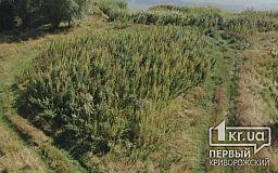 На берегу реки в Днепропетровской области полицейские нашли «лес» из конопли