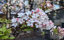 Криворожанам предлагают полюбоваться цветением сакуры