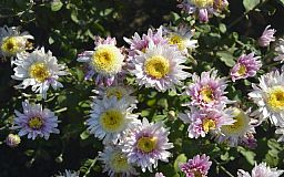 В криворожском ботсаду началось массовое цветение хризантем