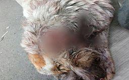 В Кривом Роге с собаки сняли кожу, волонтеры и ветеринары пытаются спасти животное