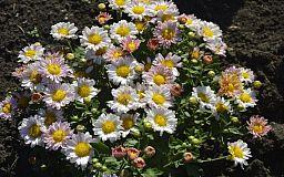 Криворожан приглашают на бал хризантем в ботанический сад
