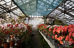 Цветение азалий в ботаническом саду Кривого Рога