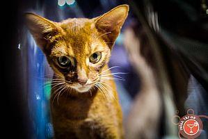 Новогодняя выставка кошек