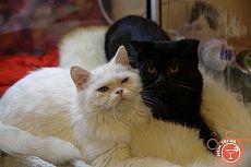 Юбилейная выставка кошек