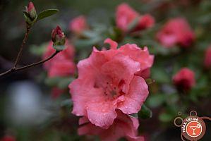 Цветение азалий в ботаническом саду