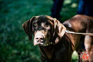 Криворожская выставка охотничьих собак