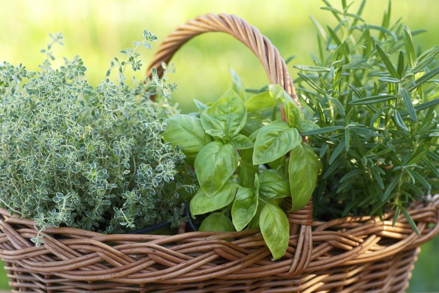 Пряные растения картинки